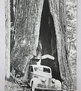 art-ray-rppc-the-shrine-tree-at-river-vista-lodge-myers-calif