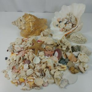 7-pounds-shells-seashells-crafts-decoration-beach-ocean-driftwood-house-lot-2