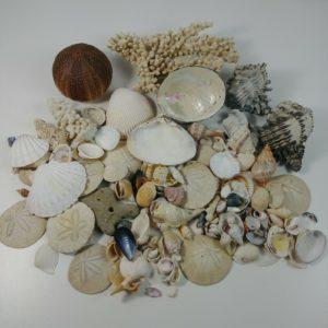 7-pounds-shells-seashells-crafts-decoration-beach-ocean-driftwood-house-lot-3