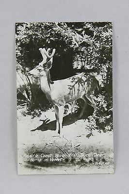 pacific-coast-black-tail-buck-deer-horns-in-velvet