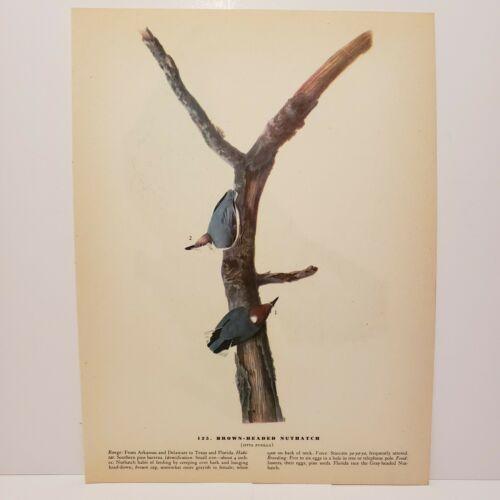 vintage-audubon-bird-print-brown-headed-nuthatch-bald-eagle