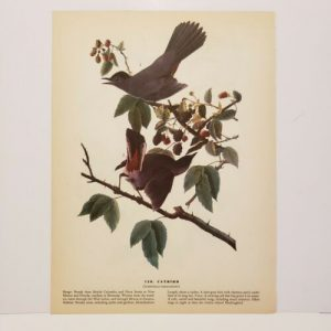 vintage-audubon-bird-print-catbird-rose-breasted-grosbeak