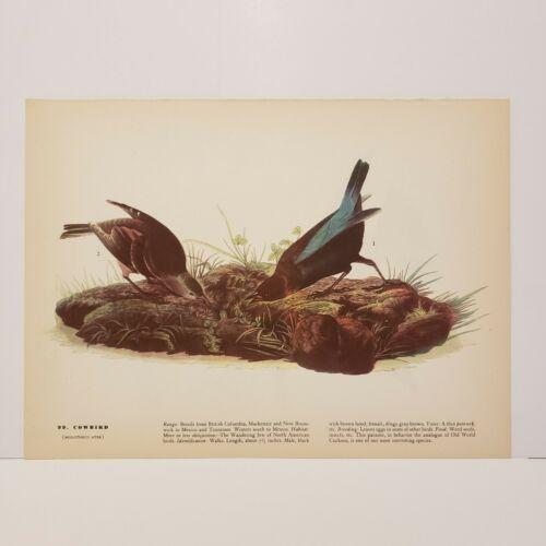 vintage-audubon-bird-print-cowbird-tree-swallow