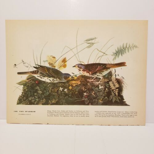 vintage-audubon-bird-print-fox-sparrow-canada-jay
