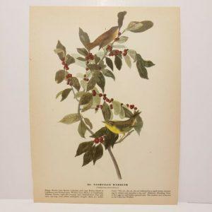 vintage-audubon-bird-print-nashville-warbler-black-and-white-warbler